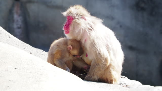 monkeys in japan who behave like human beings - уход за поверхностью тела у животных стоковые видео и кадры b-roll