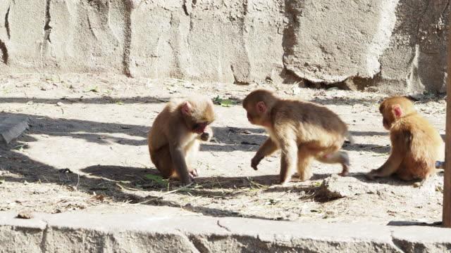 Monkeys in Japan who behave like human beings video