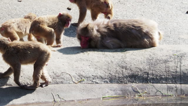 Monkeys in Japan who behave like human beings Monkeys in Japan who behave like human beings japanese macaque stock videos & royalty-free footage