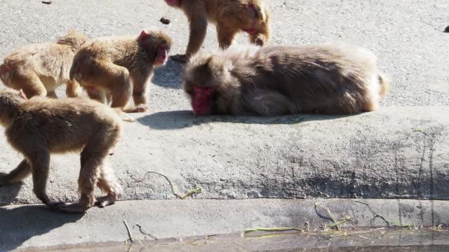 i̇nsan gibi davranır maymunlar japonya'da - japon makak maymunu stok videoları ve detay görüntü çekimi