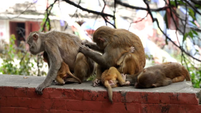 Monkeys in the city of Kathmandu video
