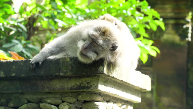 Monkeys in the forest in Bali video