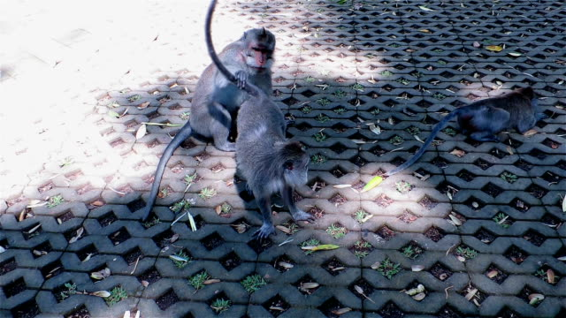 monkeys mating while another monkey attacks the male - monkey stock videos and b-roll footage