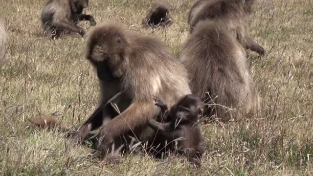 Monkeys on a field in the grass are looking for food.