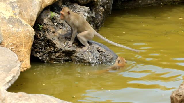 oynama ve havuzda maymunlar - makak maymunu stok videoları ve detay görüntü çekimi