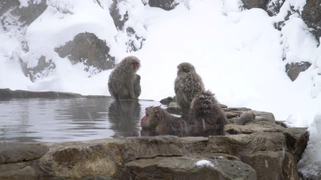 maymunlar kaplıca içinde dinlenmek - japon makak maymunu stok videoları ve detay görüntü çekimi