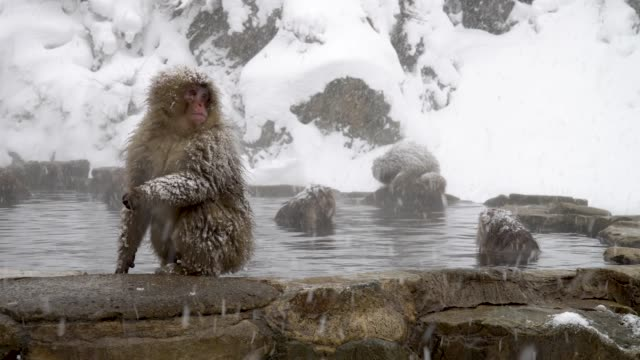 Monkeys relax in hot spring Monkeys relax in hot spring japanese macaque stock videos & royalty-free footage
