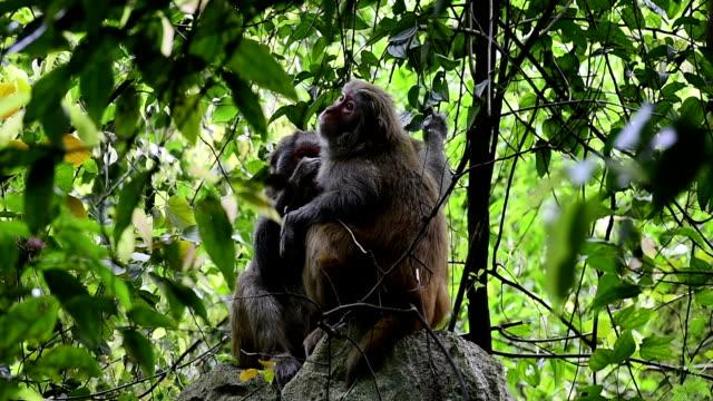 monkeys tease up hair each other - reso video stock e b–roll