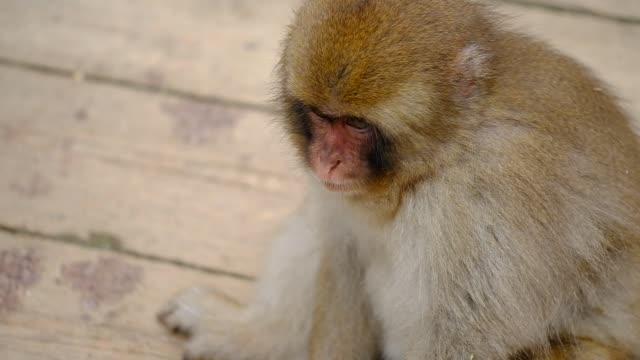 maymun - japon makak maymunu stok videoları ve detay görüntü çekimi