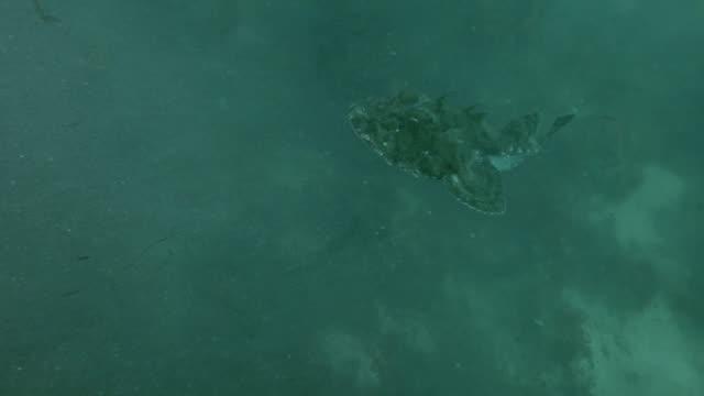 monkfish or angler fish (lophius piscatorius) swim over seaweed in a cloud of sand dust - żabnicokształtne filmów i materiałów b-roll