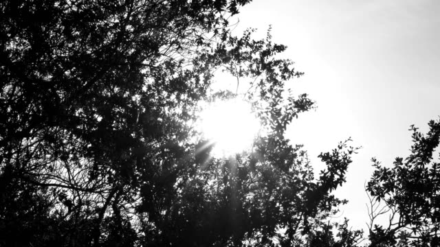 4K Monochrome black and white selective focus low angle shot of sun glimmering flares peeking through the moving trees. The wind blowing through the tree branch and leaves with sunshine.