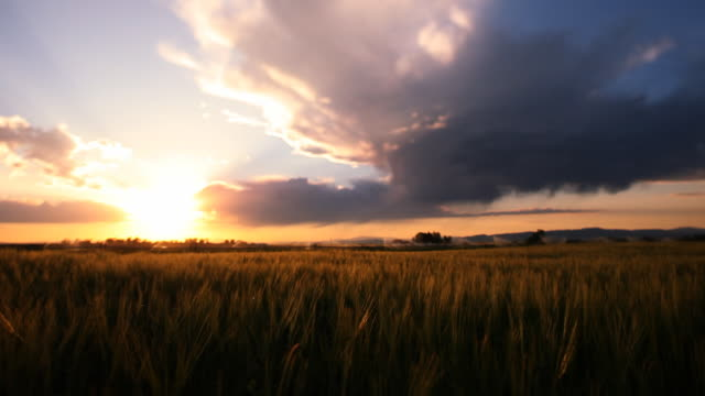 Montana, wheat, dusk, irrigation video
