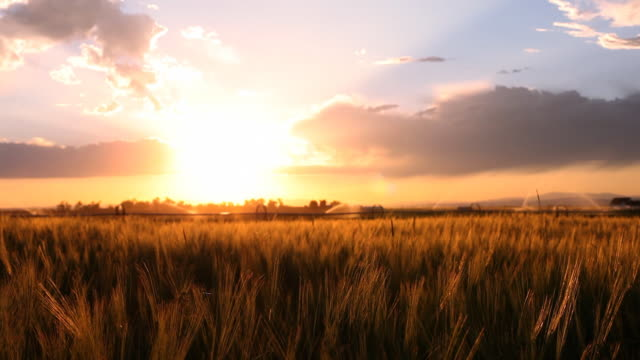 Montana wheat field sunset with irrigation system video