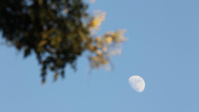 Maan met blauwe of Fraxinus griffithii boom achtergrond video