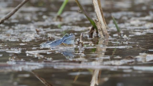 vídeos y material grabado en eventos de stock de rana rana moro - rana arvalis rana azul europea en el pequeño estanque durante la primavera en la república checa, moravia - charca