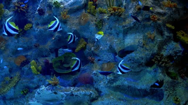 moriska idol eller zancluse cornutus fiskar - akvarium byggnad för djur i fångenskap bildbanksvideor och videomaterial från bakom kulisserna