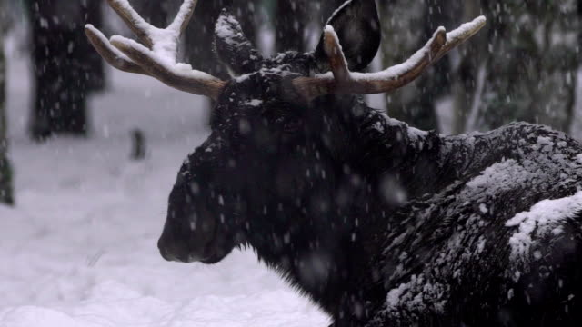 moose (elch) und winter - elch stock-videos und b-roll-filmmaterial
