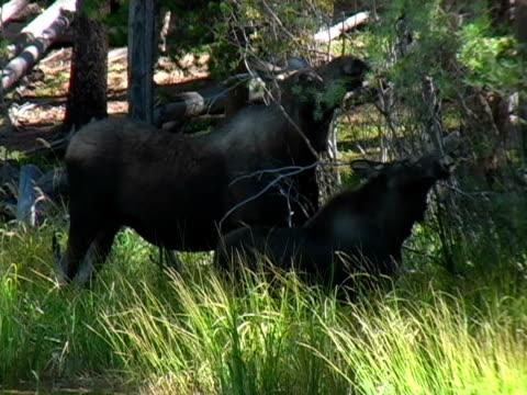 moose und jungen - elch stock-videos und b-roll-filmmaterial
