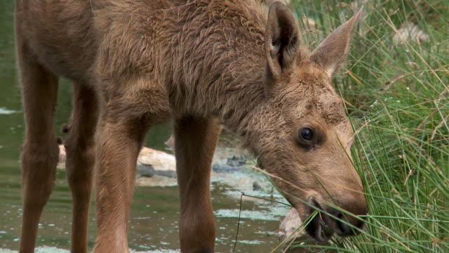 moose baby - elch stock-videos und b-roll-filmmaterial