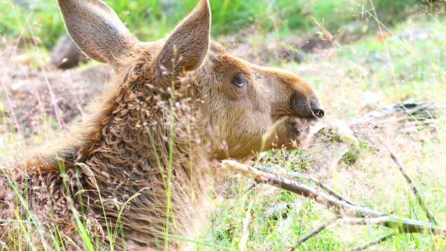 moose baby - älg sverige bildbanksvideor och videomaterial från bakom kulisserna