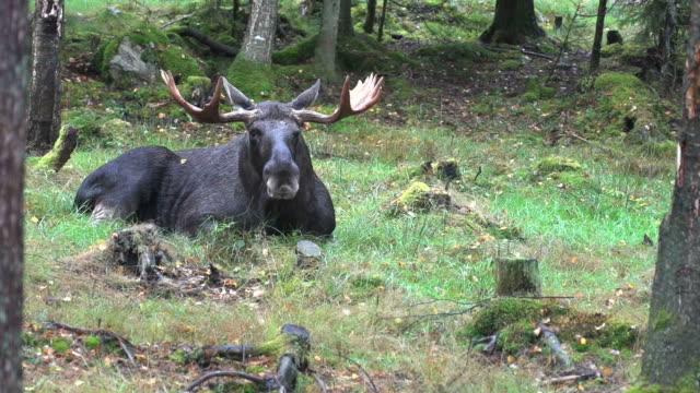 moose bull - rutting season - älg sverige bildbanksvideor och videomaterial från bakom kulisserna