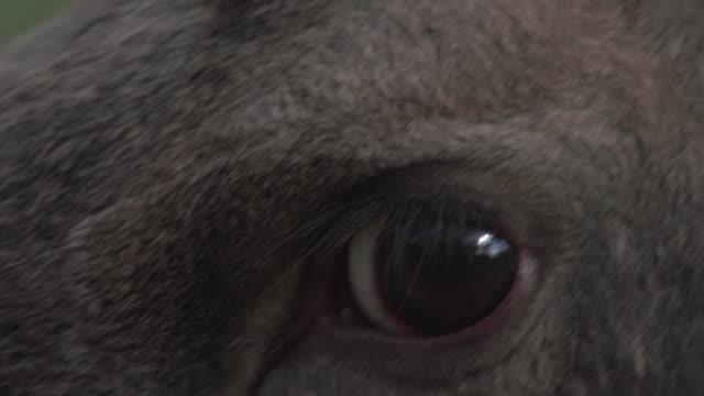 moose-nahaufnahme - elch stock-videos und b-roll-filmmaterial