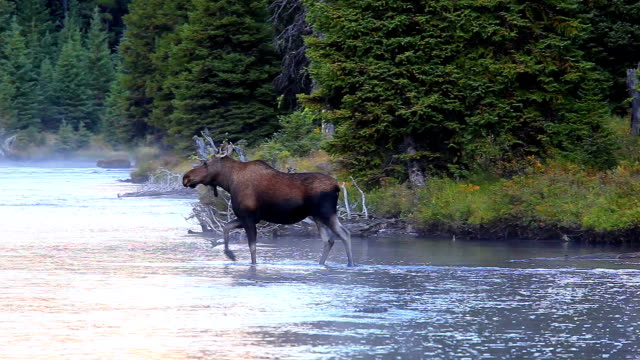 moose crossing montagna fiume - animale femmina video stock e b–roll