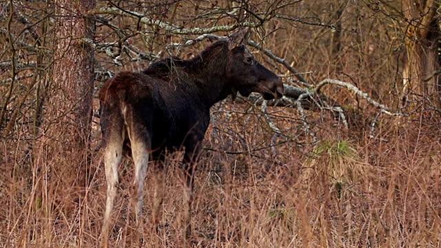 älgar i skogen vilda djur - älg sverige bildbanksvideor och videomaterial från bakom kulisserna