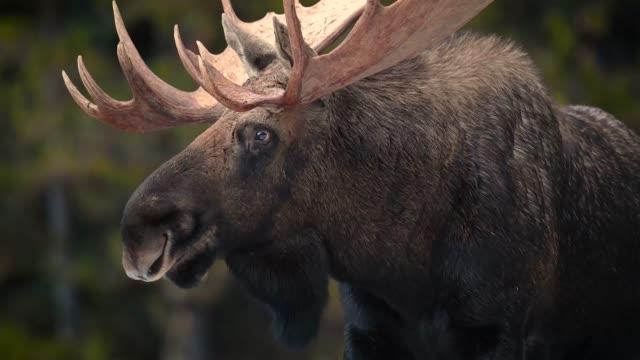 elch in jasper kanada videoclip - elch stock-videos und b-roll-filmmaterial