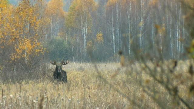 elch im november - elch stock-videos und b-roll-filmmaterial