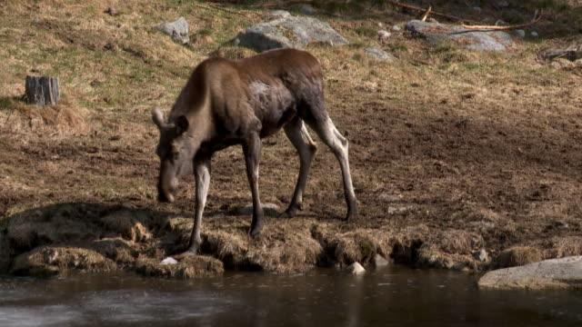 moose - älg sverige bildbanksvideor och videomaterial från bakom kulisserna