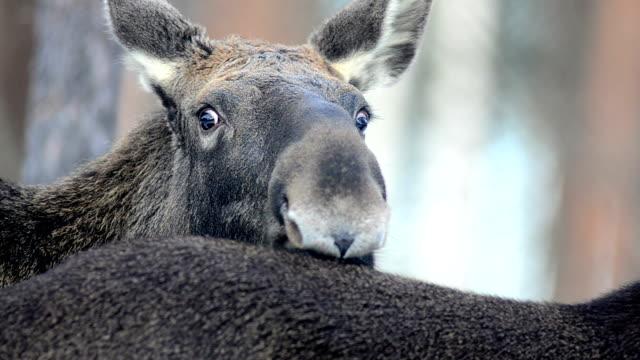 moose - elch stock-videos und b-roll-filmmaterial