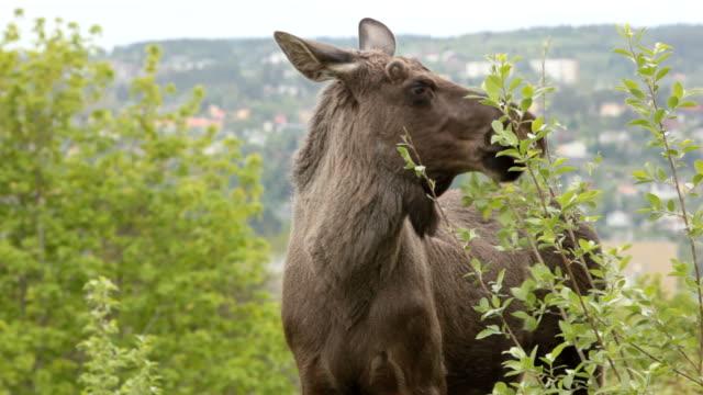 moose-möglichkeiten in der stadt - elch stock-videos und b-roll-filmmaterial