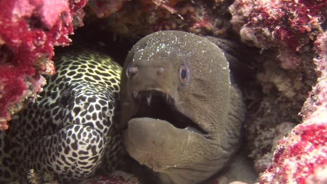 Moray Eel black and spotted on background coral underwater in sea of Maldives. Moray Eel black and spotted on background coral underwater in sea of Maldives. Swimming in world of colorful beautiful wildlife of reefs. Inhabitants in search of food. Abyssal relax diving. giant fictional character stock videos & royalty-free footage