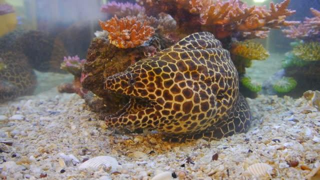 Moray eel tiger. video