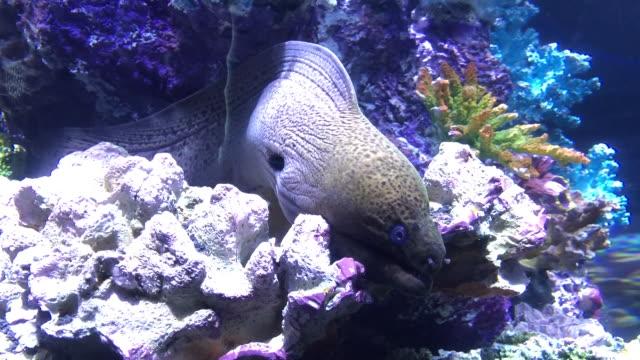 vídeos de stock e filmes b-roll de moray eel underwater aquarium - oceano pacífico