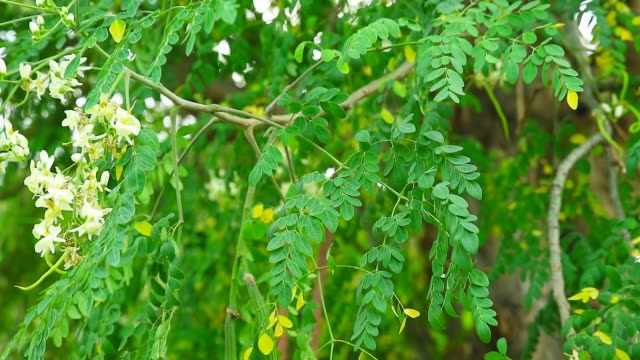 Moringa seeds and pods Has the effect of lowering blood pressure