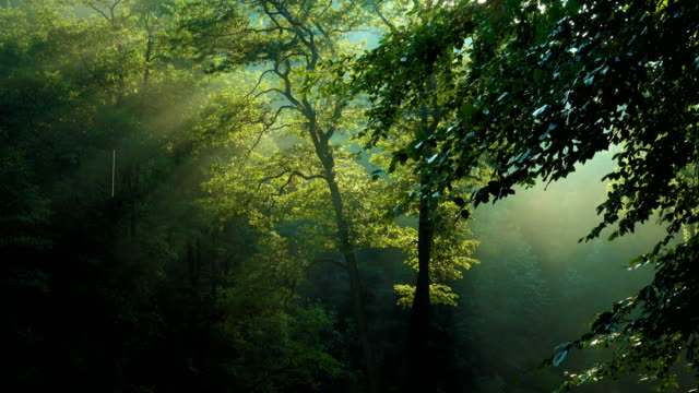 morning forest trees with raising sun beams after the rain – film