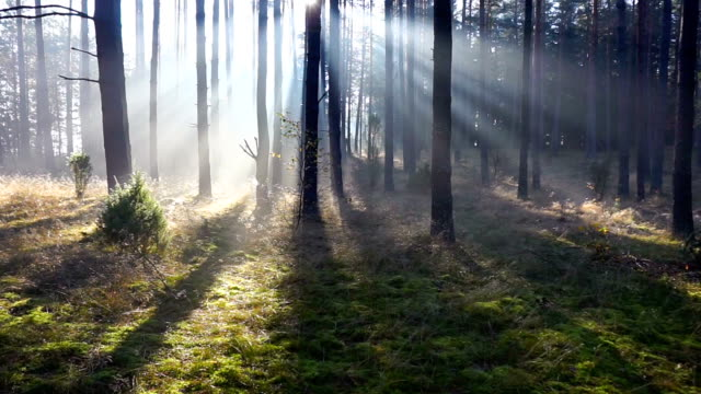 morning forest - trees in mist stock videos & royalty-free footage