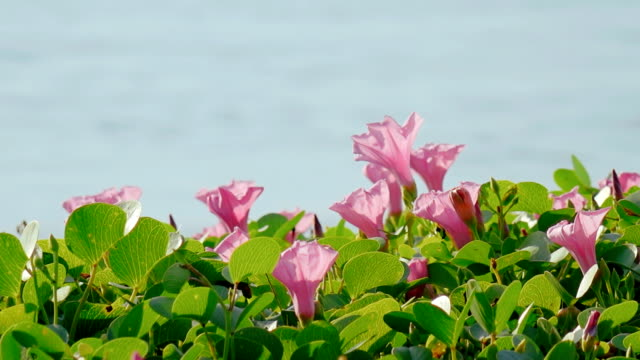 Morning Glory at the beach