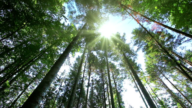 mattina nella foresta - pinacee video stock e b–roll