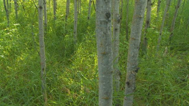 Morning light through Poplar trees video