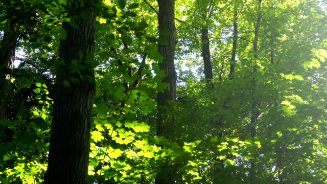 Morning sunbeams in green mixed forest – film