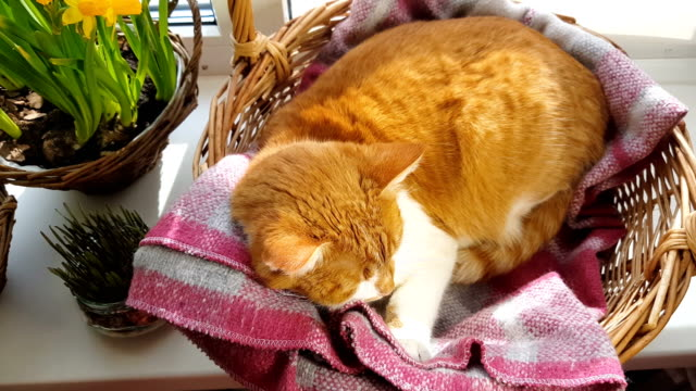 Morning sunlight on the sleeping red cat video