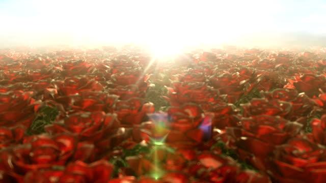 Morning walk in the field of roses, seamless loop video
