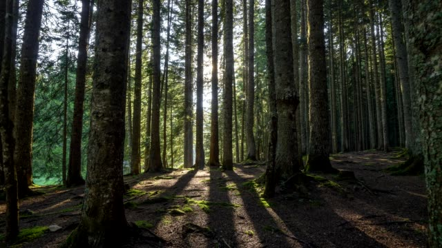 Morning walk in the forest. The sun's rays shine through the trees. 4K, UHD Morning walk in the forest. The sun's rays shine through the trees. 4K, UHD pine tree stock videos & royalty-free footage