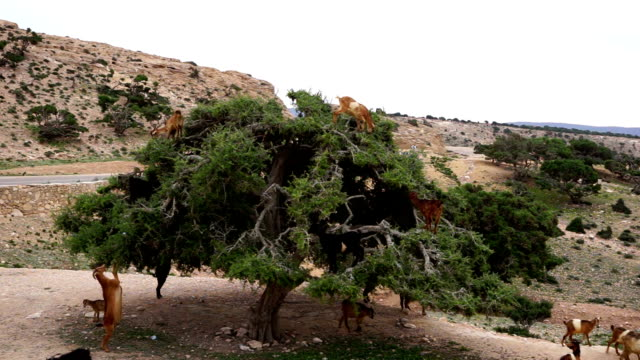 marocco capre in un albero di argan mangiare la frutta a guscio di argan - inerpicarsi video stock e b–roll