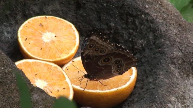 Morpho buttefly on orange
