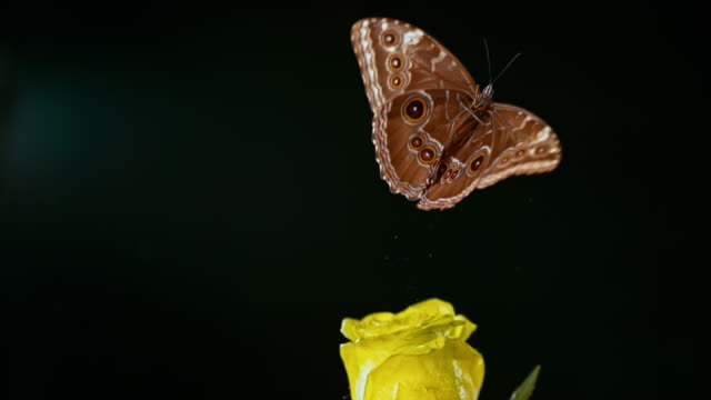 SLO MO LD Morpho butterfly flying off a yellow rose