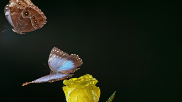 SLO MO Morpho butterfly sitting on a rose taking  off as another butterfly flies by Slow motion medium locked down shot of a butterfly sitting on a yellow rose and takes off with another butterfly flying by. Shot in Slovenia. butterfly insect stock videos & royalty-free footage